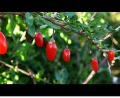 赤い色をしたゴジベリー