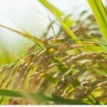 玄米の栄養成分を比較!フィチン酸と鉄分が豊富で凄い?