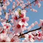 アーモンドの花言葉は?桜との違いは時期や香りにあり?