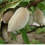 アーモンドの木ってどれくらい成長する?大きさが知りたい!