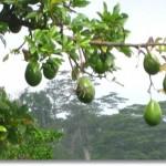 アボカドの木が販売されているの?大きさが知りたい!